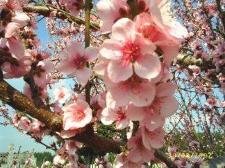 Sakura-2